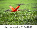 Scarlet Ibis In Flight Above...