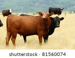 Angus cross beef cattle in a summer field near Oakland Oregon - stock photo