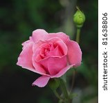 Stock photo beautiful pink rose photographed in the garden 81638806