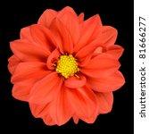 Perfect Orange Dahlia Flower...