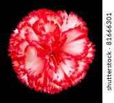 One Red and White Gilly Flower Head Isolated on Black Background. Isolated Carnation Flower - stock photo