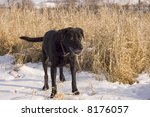 old black lab alert for game in ... | Shutterstock . vector #8176057