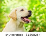 Stock photo labrador retriever puppy in the yard shallow dof 81800254