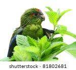 Red Fronted Kakariki Parakeet...