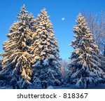 First light glows on freshly coated fir trees - stock photo