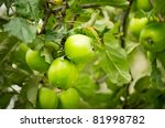 Green Apples On Apple Tree...