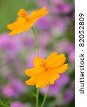 Orange Flowers Chamomiles