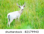 Picture Of White Fallow Deer I...
