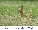 Whitetail Roe Deer  Doe...