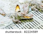 A lot of crocodiles waiting foods from tourist - stock photo