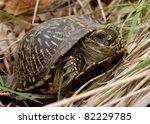 Ornate Box Turtle  Terrepene...