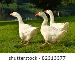 Geese On Green Grass