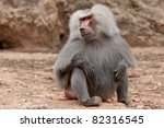 Male Baboon Sitting On The...