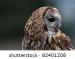 A Young Tawny Owl
