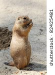 cute little prairie dog in characteristic posture on sandy patch eating - stock photo