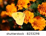 Clouded Sulphur Butterfly....