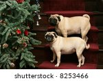 two adorable pug dogs standing on stairs with christmas tree - stock photo