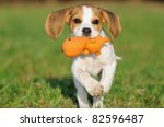 Stock photo cute beagle puppy months running happy over the meadow 82596487