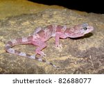 The rare Reticulated Gecko, Coleonyx reticulatus