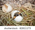 Baby duckling peeping out of his egg at hatching time - stock photo