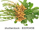 Groundnut Plants Isolated On White Background - stock photo