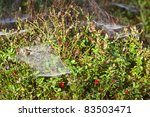 Lingonberry With Spider Nets