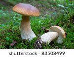 King Boletes In The Woods ...
