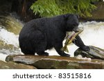 The American Black Bear...