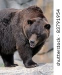 Grizzly bear (Ursus arctos horribilis) standing on rocky ledge - stock photo