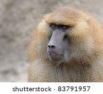 Guinea Baboon   Papio Papio ...