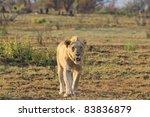 Male lion prowling through the open savanna pursuing prey - stock photo