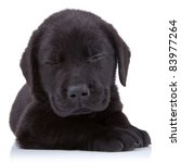 Tired  Black Labrador Lyeing O...