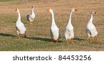 Group Of White Chinese Geese