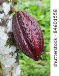 Ripening Pod Of Arriba Cacao...