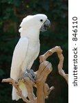 Cockatooo Bird