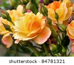 pink and yellow roses  in the garden - stock photo