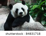 Smiling panda - stock photo