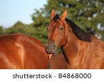 brown horse licking another... | Shutterstock . vector #84868000