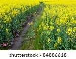 Path Through Oilseed Blossom