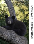 Treetop View.  A brown variant of the black bear (Ursus Americanus) takes in the view from the branches of a large tree.  Cubs often climb trees for safety. - stock photo