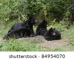 Black Bear Family Portrait.  Female black bear (Ursus Americanus) and three cubs relaxing in forest meadow. - stock photo