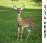 Whitetail Deer Fawn Still In...