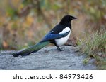 Young Magpie In The Autumn...