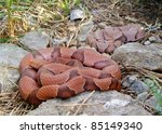 Small photo of Snake Den - Osage Copperhead, Agkistrodon contortrix phaeogaster