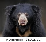 Sloth bear (Ursus ursinus) portrait - stock photo