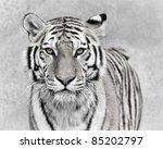 Amur Tiger  Panthera Tigris...