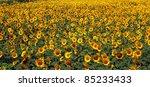 sunflower farm - stock photo