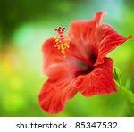Hibiscus Flower. Shallow Focus