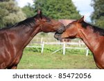 two brown horses playing with...   Shutterstock . vector #85472056