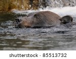 Grizzly bear (Ursus arctos) swimming - stock photo